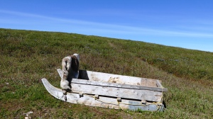 Caribou hide on sled