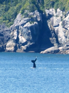 A whale takes a dive in the inside passage, mid-way down the coast of B.C.